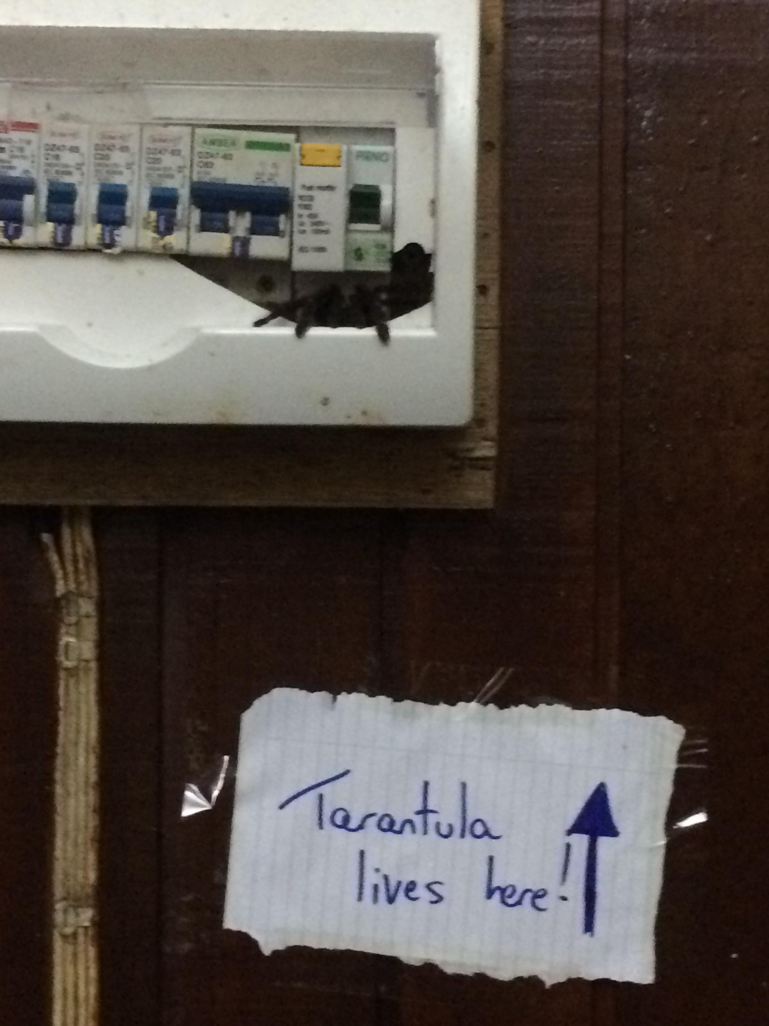 Danum Tarantula in my Tiong