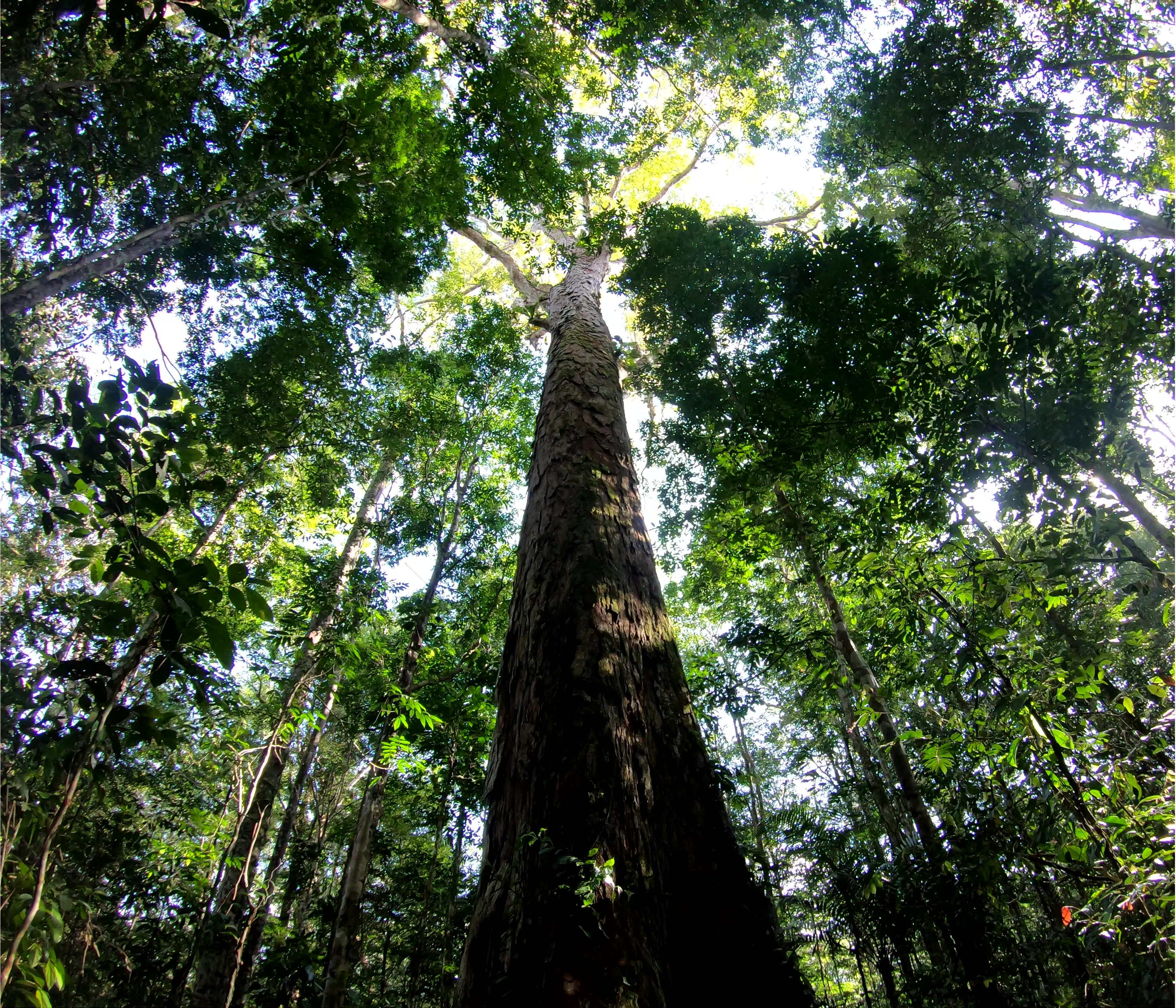 Jari tall tree trip - Tall_tree - Toby Jackson